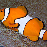"The Clownfish (Amphiprion ocellaris), or False Percula Clownfish, is found in Pacific coral reefs, and is a popular aquarium fish, even more so after it rose to stardom in ""Finding Nemo"", the 2003 Academy Award-winning computer-animated film. Seattle Aquarium, Washington, USA."