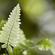Fern leaves, Wilson Botanical Gardens, Organization for Tropical studies property, near Las cruces, Costa rica.