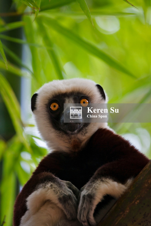 Coquerel's Sifaka (Propithecus coquereli) in the bamboo forest, Madagascar