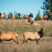 "The ""local"" herd of Roosevelt elk in Sequim, WA. They're elusive, wandering the mountains and clearcuts but they come into town sometimes. Here, two younger nice bulls stand guard as the spike bulls and cows and one big daddy bull enjoy the sun after many days of rain."