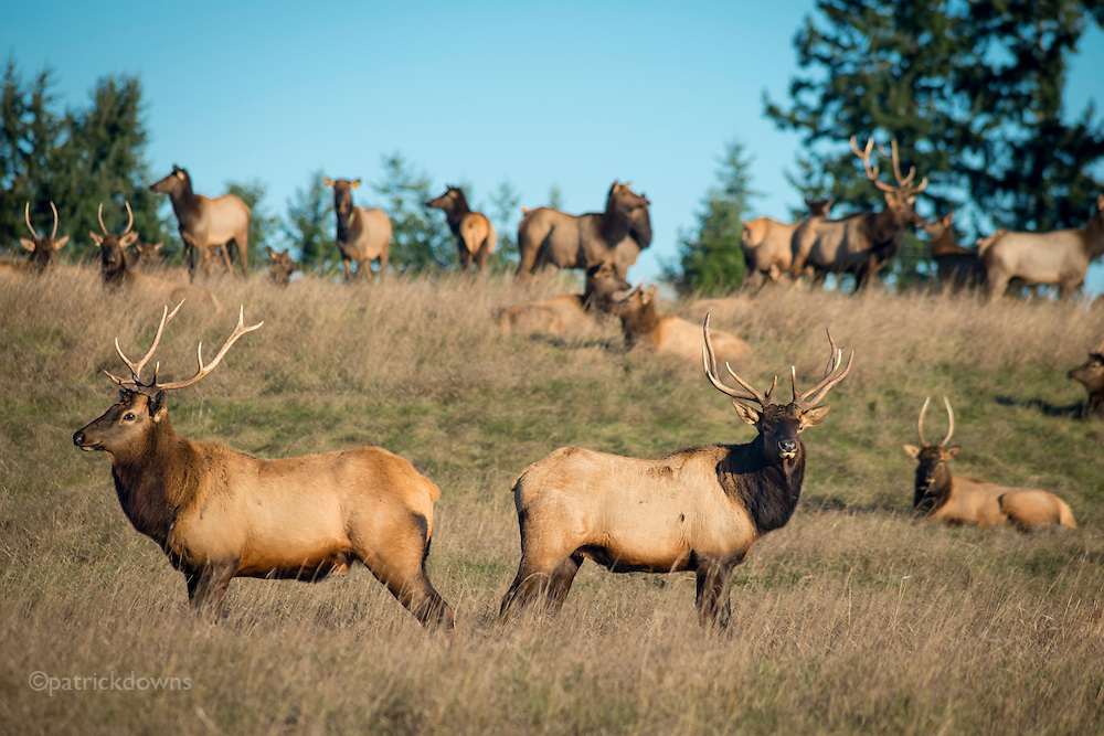 """The """"local"""" herd of Roosevelt elk in Sequim, WA. They're elusive, wandering the mountains and clearcuts but they come into town sometimes. Here, two younger nice bulls stand guard as the spike bulls and cows and one big daddy bull enjoy the sun after many days of rain."""