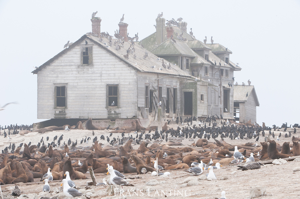 California sea lions and abandoned house, Zalophus californianus, Ano Nuevo Island, Monterey Bay, California