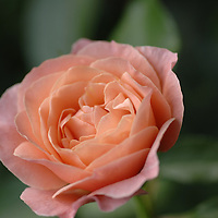 Pinkish Peach Rose