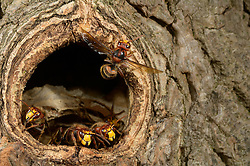 brown hornet or European hornet (Vespa crabro) (dt. Hornisse)