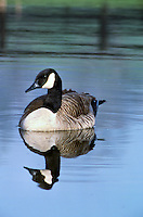 Canada Goose in a farm pond.
