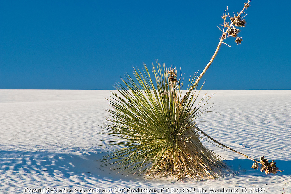 Yucca plant on sand dunes  in White Sands National Monument in New Mexico.