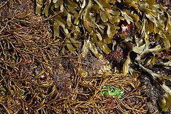 Intertidal zone in Brittany (French: Bretagne). Rocks are coverd with brown algae, red algae and green algae. Brown algae: at top Toothed wrack (Fucus serratus) and on the left Bifurcaria bifurcata.  Red algae: middle and down right pepper dulse Osmundea pinnatifida. Green algae: Ulva sp.  Roscoff, France | Braunalgen: oben Sägetang (Fucus serratus) mit Sägezahnrand, links ist Bifurcaria bifurcata (eine Art, die sich in Großbritannien zurzeit nach Norden ausdehnt) - Rotalgen: Mitte und rechts unten die Rotalge Osmundea pinnatifida (die Art, die beim Zerreiben nach Pfeffer riecht - pepper dulse auf englisch) - Grünalgen: Ulva  Roscoff, Frankreich