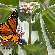 A monarch butterfly (Danaus plexippus) feeds on Purple Milkweed (Asclepias cordifolia), also known as Heartleaf Milkweed, in the valley of Yosemite National Park, California.