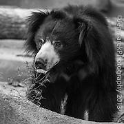 Soul Survival: Sloth Bear (Scientific name: Melursus ursinus)<br /> Vulnerable/Species Survival Plan