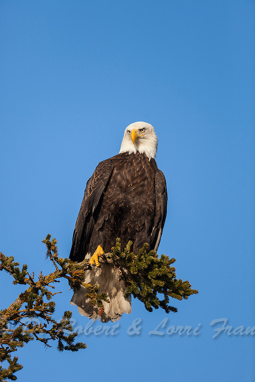 American bald eagle perched is spruce tree in Alaska