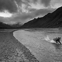 USA, Alaska, Katmai National Park, Adult Female Grizzly Bear (Ursus arctos) runs while fishing for spawning salmon in river along Kukak Bay
