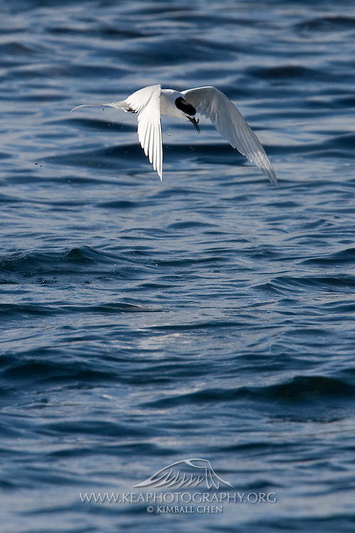 White-fronted Tern, New Zealand