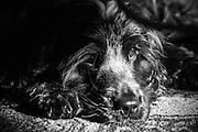 Henry my cocker spaniel in black & white