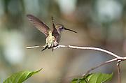 Female Anna's Hummingbird on branch