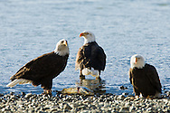 A bald eagle (Haliaeetus leucocephalus) watches for other eagles as it feeds on a chum salmon along the banks of the Chilkat River in the Chilkat Bald Eagle Preserve near Haines in Southeast Alaska. Winter. Afternoon.