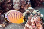 Oval Butterflyfish, Chaetodon lunulatus Quoy & Gaimard, 1825, kikakapu, Maui Hawaii