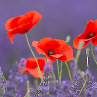 poppy Flowers in Lavender field,Vaucluse,Provence,France,Europe