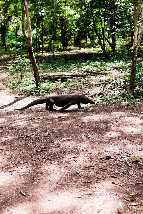 Komodo dragon at Komodo Island National Park.