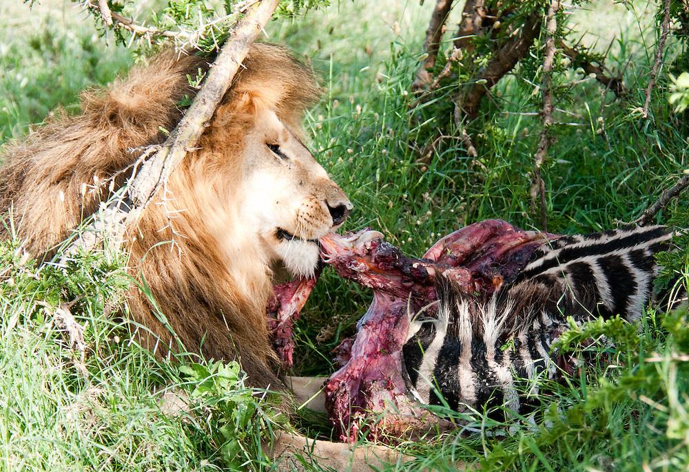 Lion eating zebra