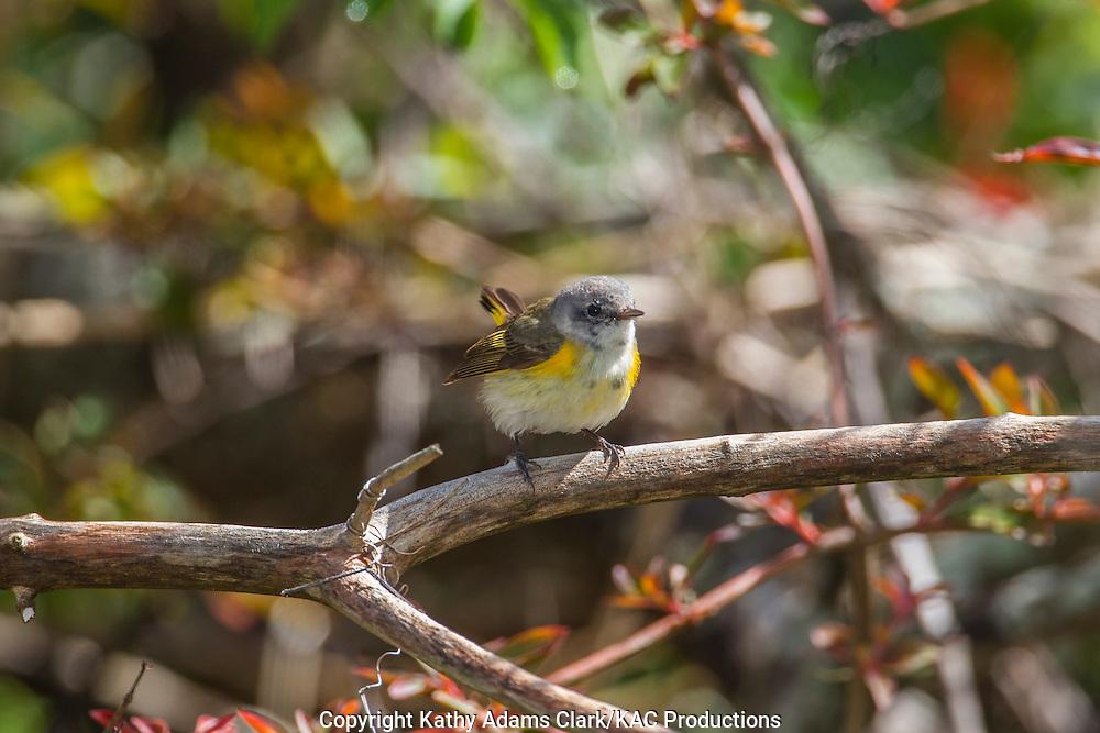 American redstart, Setophaga ruticilla, female, spring, Quintana Neotropical Bird Sanctuary, Quintana, Texas coast.