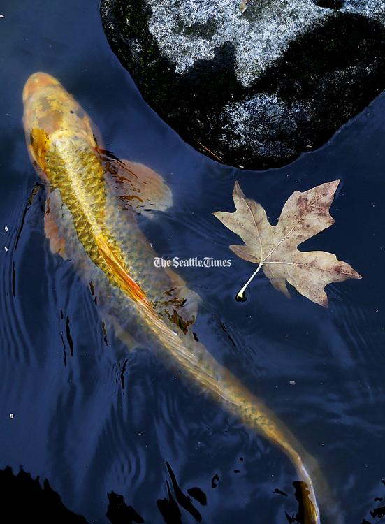 A koi fish swims past a fallen leaf. (Ken Lambert/The Seattle Times)