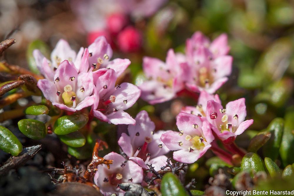 greplyng, Mountain Azalea, rosa blomster, bittesmå blomster, pink flowers, Kalmia procumbens, Loiseleuria procumbens, . Bringen i Selbu.
