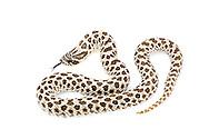 Western Hognose Snake (Heterodon nasicus)<br /> captive individual