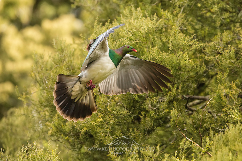 A beautiful NZ wood pigeon in flight in the Southland forest.