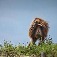 A male gelada baboon, Theropithecus gelada, on the Guassa Plateau of Ethiopia