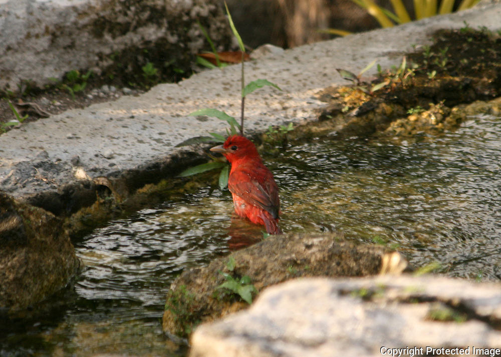 Summer Tanager bathing in a pool of water surrounded by iguanas.