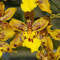 Tiger Crow or Golden Girl Orchid ( x odontocidum ) &amp;#xA;&copy; KIKE CALVO - V&amp;W&amp;#xA;( flower colorful plant garden spring tropical plant ornamental orchidaceae bloom blossom bouquet petal floral beautiful inspiring nature botanical<br />
