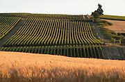Cristom estate vineyards, Eola-Amity AVA, Jesse Vineyard, Willamette Valley, Oregon