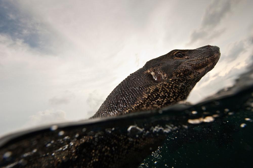 Water Monitor Lizard Swimming In The Sea Pulau Tiga