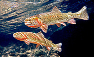Colorado River Cutthroat Trout<br /> <br /> Patrick Clayton/Engbretson Underwater Photography