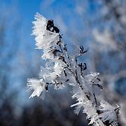 Hoarfrost on tree in park off of Scherbel Rd near Black Earth, Wisconsin.