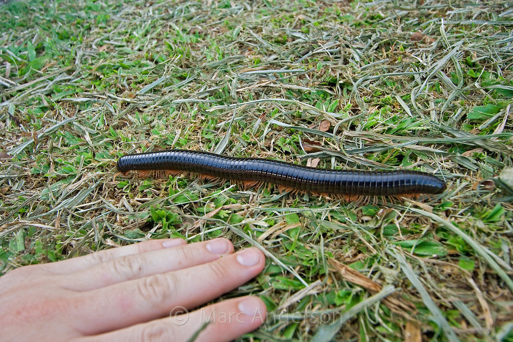 A Large Millipede at Fraser's Hill, Malaysia..