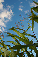 Corn stalks with blue sky blowing in wind
