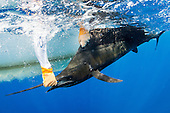 Sailfish Stock Photos