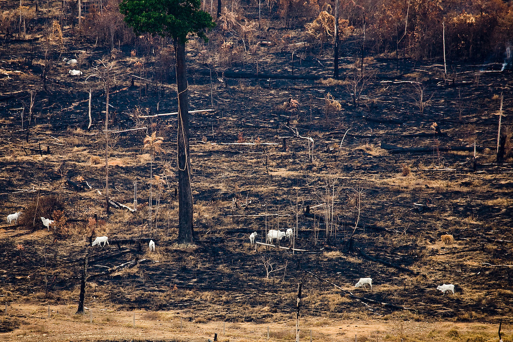 Cattle grazing on a recently burnt area. Flight SW of Santarem on Trairao Municipality..Daniel Beltra/Greenpeace