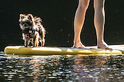 Dog days of summer have wagged their way into the Seattle area. This pooch hitches a ride on a paddle board with its owner on Beaver Lake on the Sammamish Plateau. (Steve Ringman/The Seattle Times)