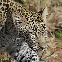 Leopard ( Panthera pardus ) Masai Mara National Park. Kenya. Africa<br />