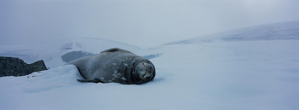 Antarctica, Enterprise Island, Weddell Seal (Leptonychotes weddelli) lies on snow slope along Antarctic Peninsula