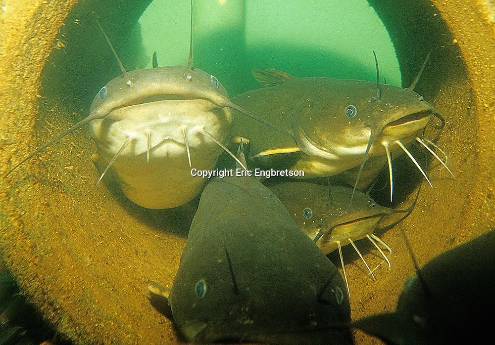 Yellow Bullhead<br /> <br /> ENGBRETSON UNDERWATER PHOTO