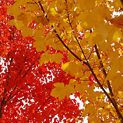 The bright autumn color of the trees in Southern Oregon.  The Red and Yellow leaves stand in stark contrast to each other showing the bright colors to be seen in the Fall.