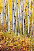 Aspens in autumn on Ohio Pass near Crested Butte, Colorado.
