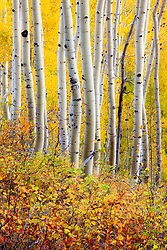 Aspens in autumn on Ohio Pass near Crested Butte, Colorado.