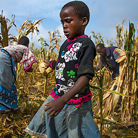 FChildren working with their parents to harvest corn in Tanzania.
