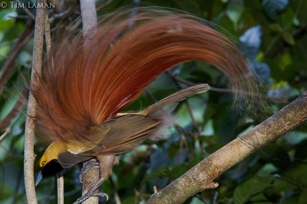 Goldie's Bird of Paradise..Paradisaea decora.