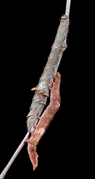 Two springtime cherry eaters, the ultronia underwing and bold-based or intent Zale, rest on a bare black cherry twig.  Bark and twig mimicry are common, especially in overwintering and springtime species.