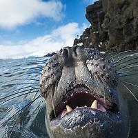 Antarctica, South Shetland Islands, Elephant Seal (Mirounga leonina) swimming near Livingstone Island